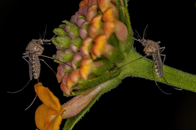 ランタナの花のナミカ亜科の成虫ナミカ蚊