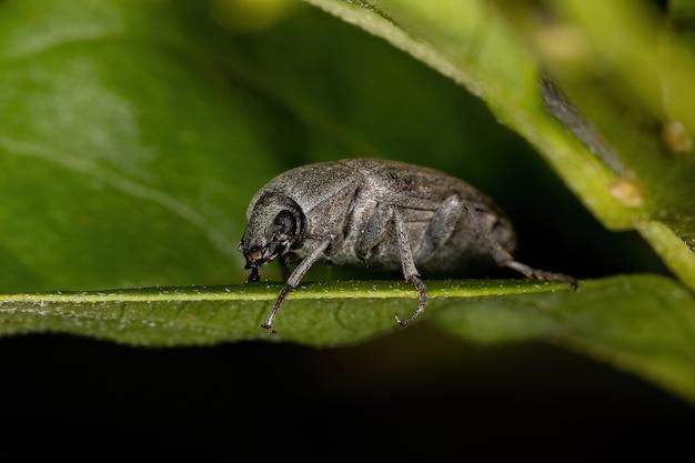 Adult darkling beetle of the family tenebrionidae