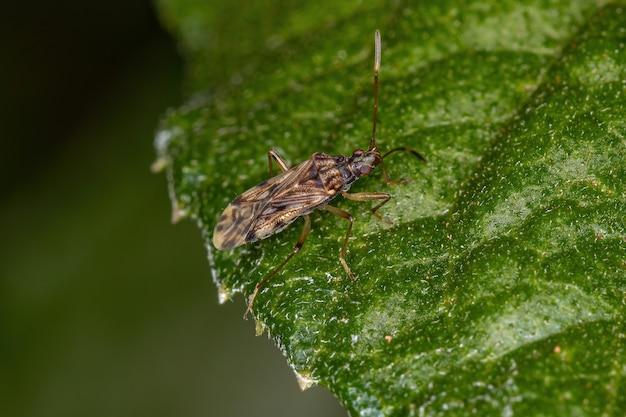 Adult dirt-colored seed bug tribe myodochini on a leaf