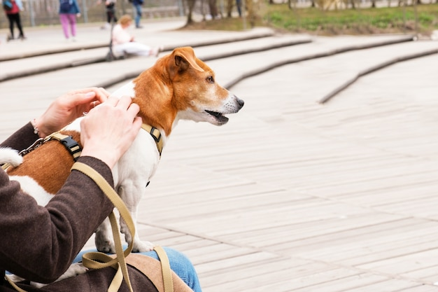 Adult dog breed jack russell terrier sits on the lap of its owner while walking in the park.