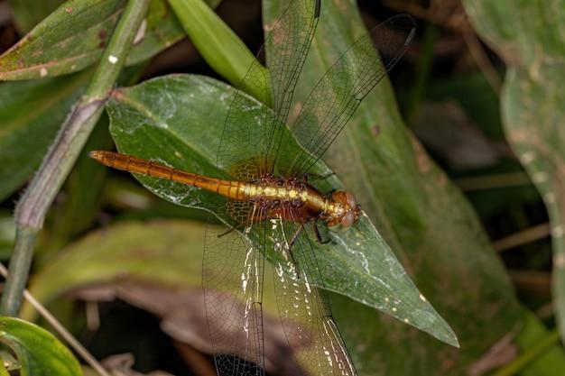 Взрослое насекомое-дракончик из рода erythrodiplax