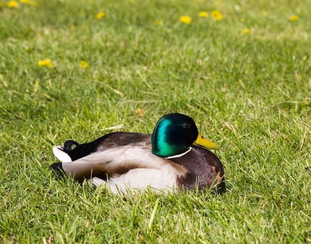Взрослый селезень утки отдыхает в зеленой траве