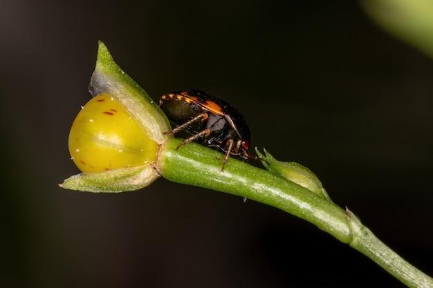 Adult ebony bug of the genus galgupha