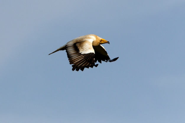 Adult of egyptian vulture flying