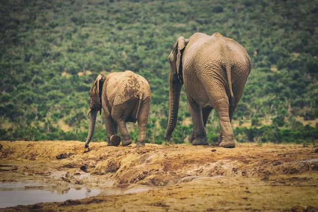 Взрослый слон и слоненок гуляют вместе в национальном парке аддо, южная африка