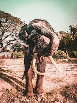 タイのアユタヤの砂利道で象牙の牙を持つ大人の象