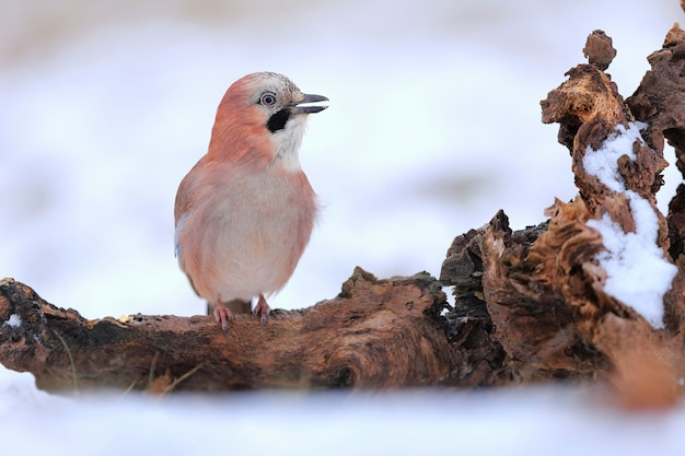 Adult eurasian jay resting on the stub covered by snow.