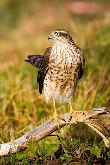 大人のユーラシアの雀鷹の女性が日光の中で尾を持ち上げます。