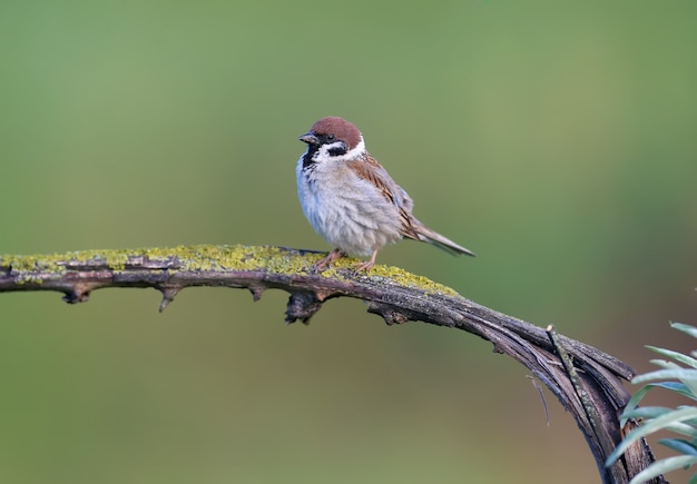 An adult eurasian tree sparrow (passer montanus) is shot in close-up on a branch against a soft green background