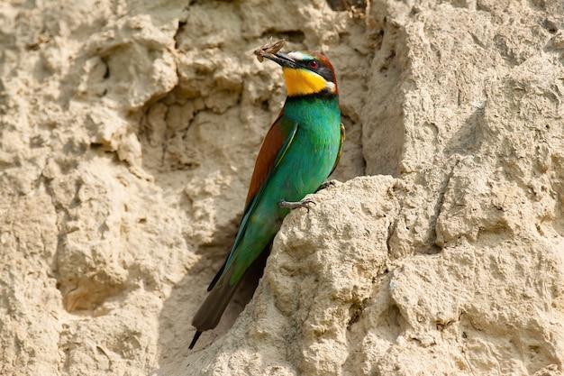 営巣コロニーの砂地に座っている大人のヨーロッパハチクイ