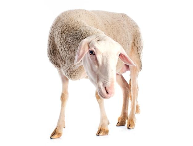 Adult ewe