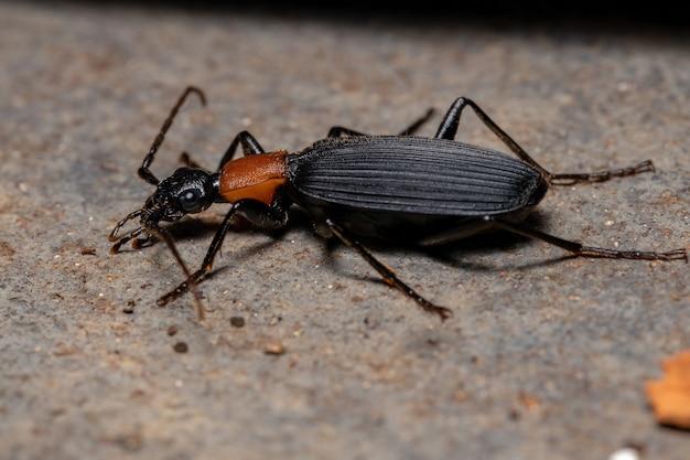 Взрослый жук-бомбардир рода galerita