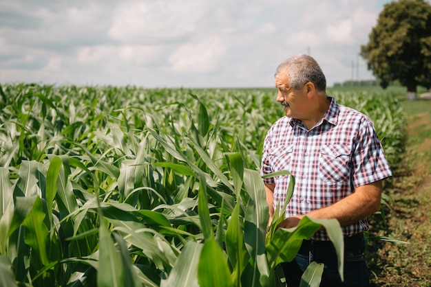 Adult farmer checking plants on his farm. agronomist holds tablet in the corn field and examining crops. agribusiness concept. agricultural engineer standing in a corn field with a tablet.