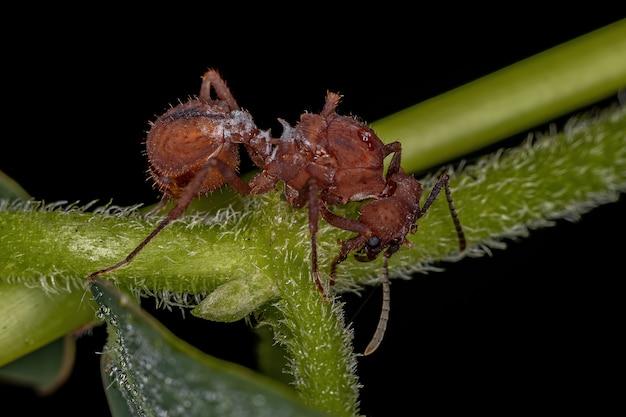 ヒメハキリア属の成虫雌アクロミルメックスハキリアリ女王アリ