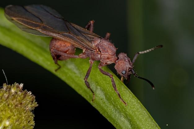 Acromyrmex 속의 성인 암컷 acromyrmex 잎 절단기 여왕 개미