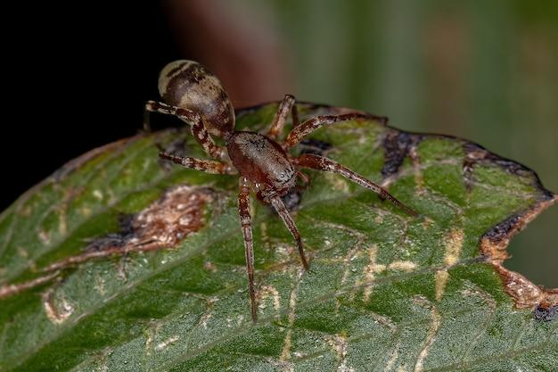 Adult female ant-mimic sac spider of the genus castianeira
