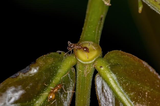 Pheidole 속의 성인 암컷 큰 머리 개미는 식물의 꽃 외 꿀을 먹고 있습니다.