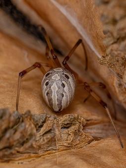 Adult female brown widow spider of the species latrodectus geometricus inside a jacaranda fruit