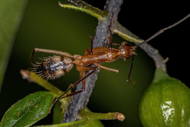 Adult female carpenter ant of the genus camponotus