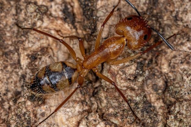 Camponotus 속의 성체 암컷 목수개미