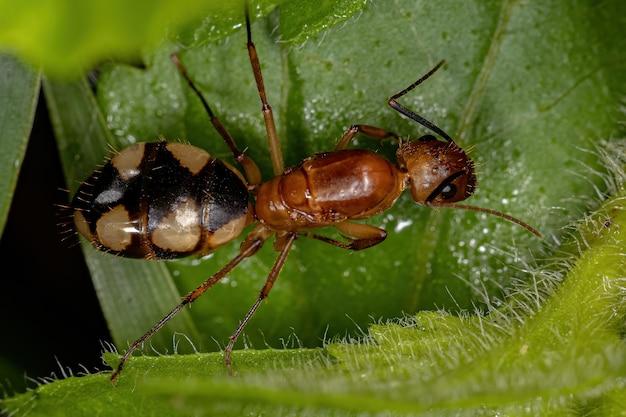 Camponotus 속의 성인 여성 목수 여왕 개미