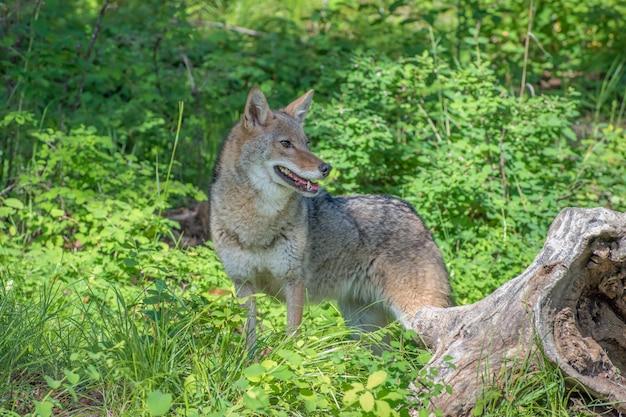 Взрослая самка койота в длинном зеленом подлеске