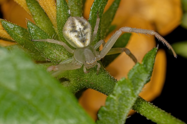 Adult female crab spider of the family thomisidae