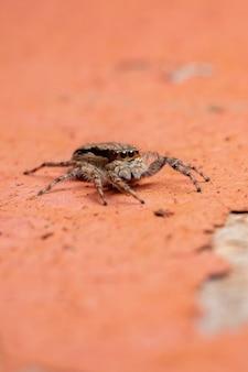 Adult female gray wall jumping spider of the species menemerus bivittatus