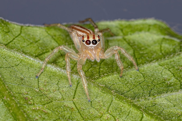 Adult female jumping spider of the genus chira