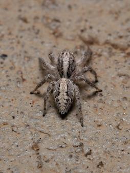 地面にいるmegafreyasutrix種の成虫のメスのハエトリグモ
