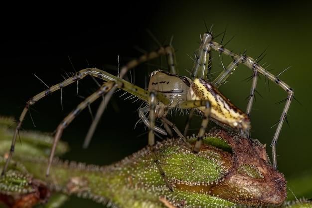 Adult female lynx spider of the genus peucetia