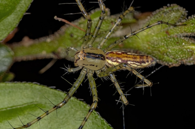 Peucetia 속의 성체 암컷 스라소니 거미