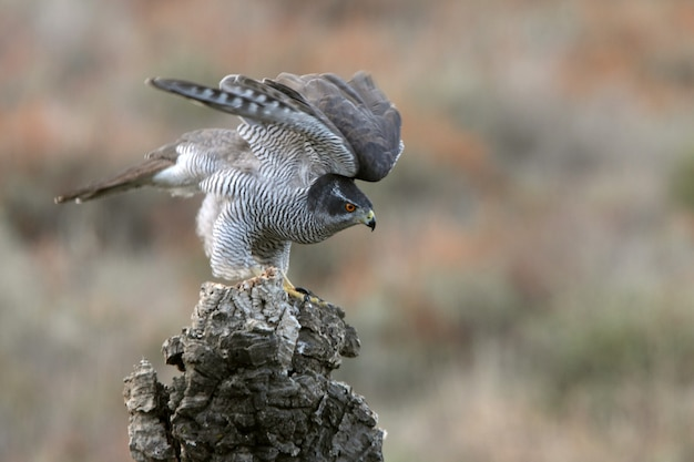 Adult female northern goshawk on her favorite watchtower in an autumn colored forest with last daylight