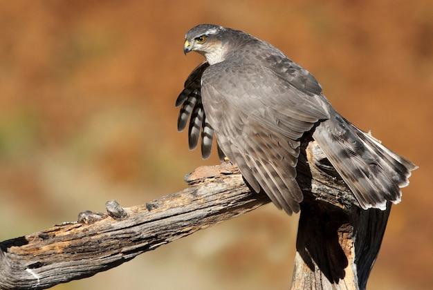 Взрослая самка евразийского перепелятника с голубем, на которого охотились с первыми лучами утра, ястреб, птицы, соколы, accipiter nisus