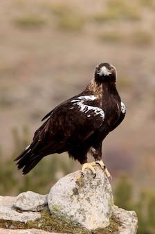 Взрослая самка испанского imperial eagle, aquila adalberti