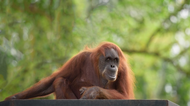 Adult female orangutan sits on a wooden platform with trees on background