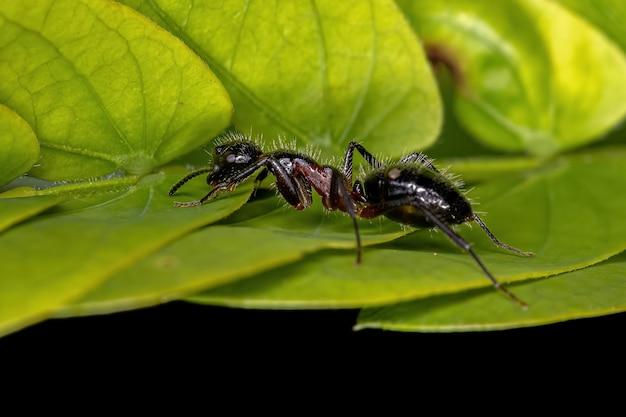 Camponotus sexguttatus 종의 성체 암컷 여섯점박이 목수 개미