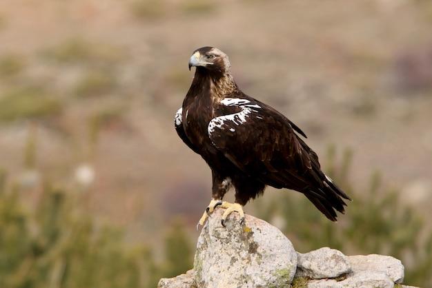 Adult female of spanish imperial eagle, aquila adalberti