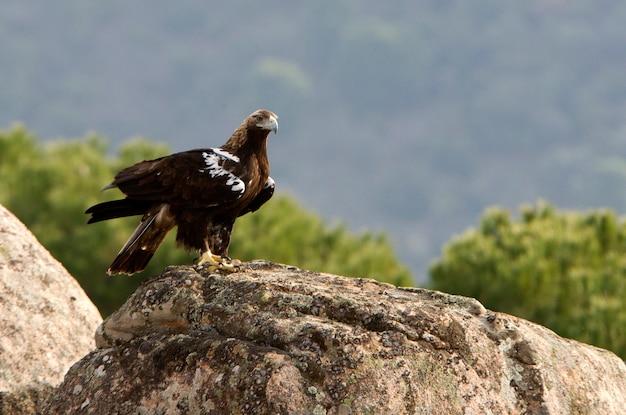 Adult female of spanish imperial eagle. aquila adalberti.