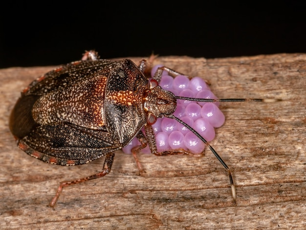 Adult female stink bug of the genus antiteuchus protecting eggs with selective focus