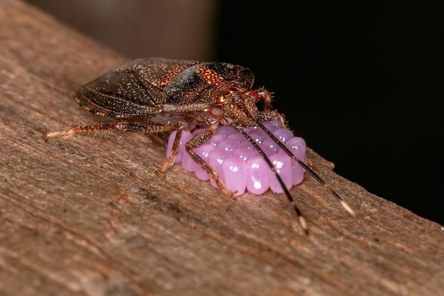 選択的な焦点で卵を保護するantiteuchus属の成虫の雌の悪臭虫