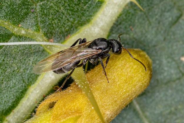 Adult female winged carpenter ant of the genus camponotus