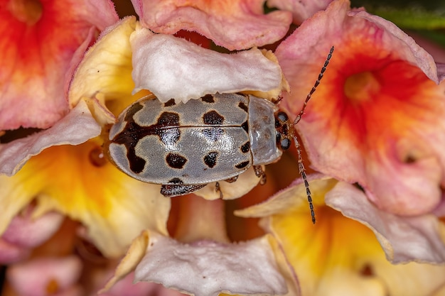 Adult flea beetle of the genus alagoasa