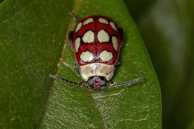 Adult flea beetle of the species alagoasa decemguttata