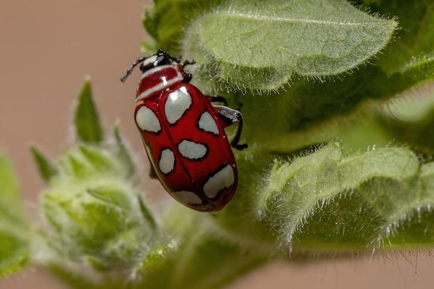 Adult flea beetle of the species omophoita argus