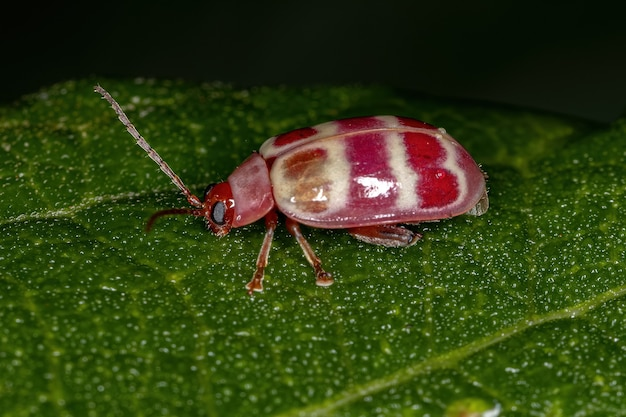 Adult flea beetle of the tribe alticini