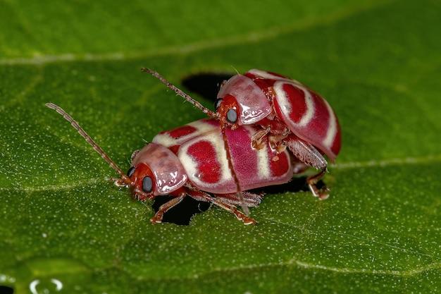 Alticini 부족의 성충 벼룩 딱정벌레 커플링