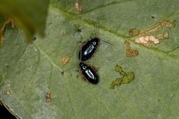 Adult flea beetles of the tribe alticini
