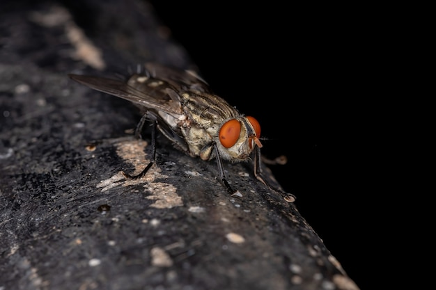 Adult flesh fly of the family sarcophagidae