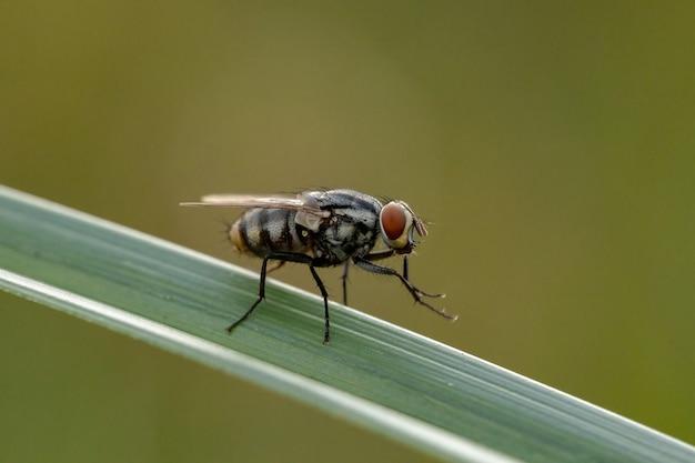 Взрослая мясная муха семейства sarcophagidae
